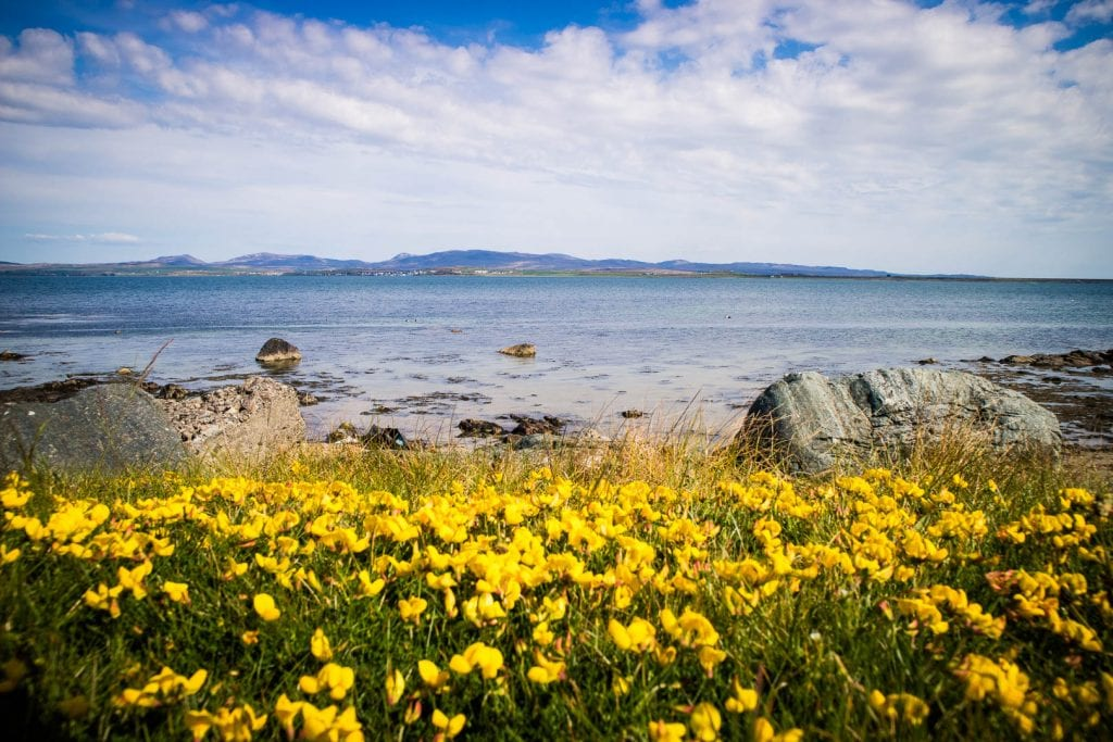 Yellow flowers by the sea on the beach outside Bruichladdich Distillery on Islay