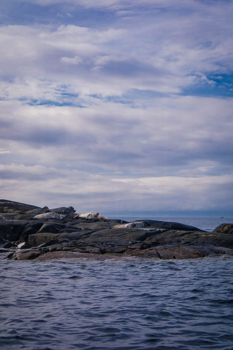 Seals lounging on rocks in Scotland