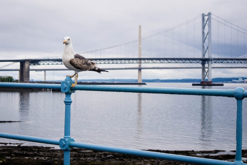 seagull in south queensferry