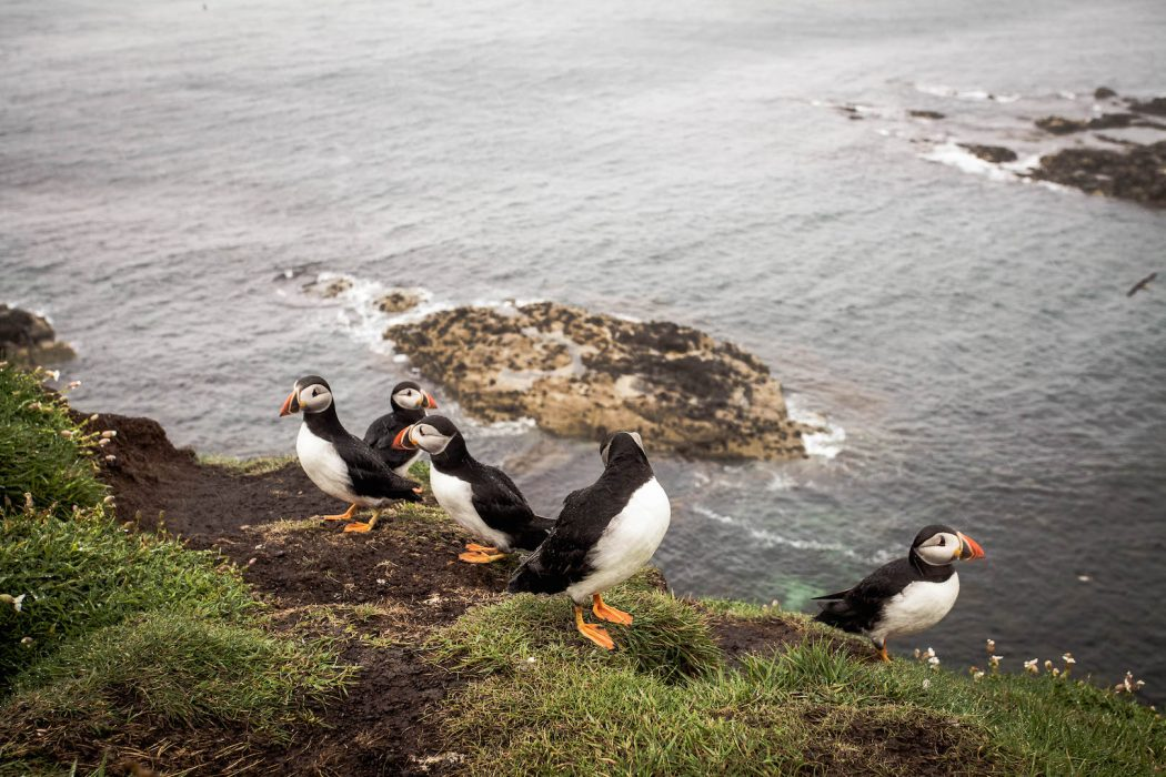 Puffins on the Isle of Lunga