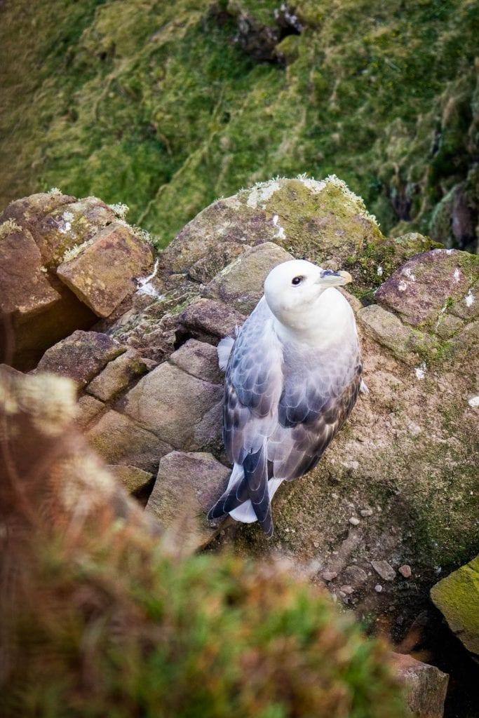 A nesting fulmar on Handa Island