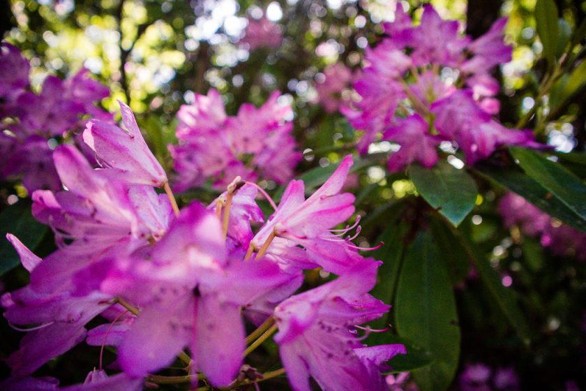 Blooming Rhododendron in Scotland