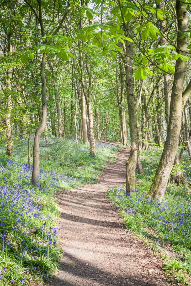 Woodland trail with bluebells in Scotland