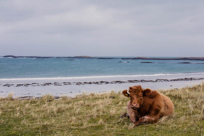 Cow on a beach at the Isle of Tiree, Scotland