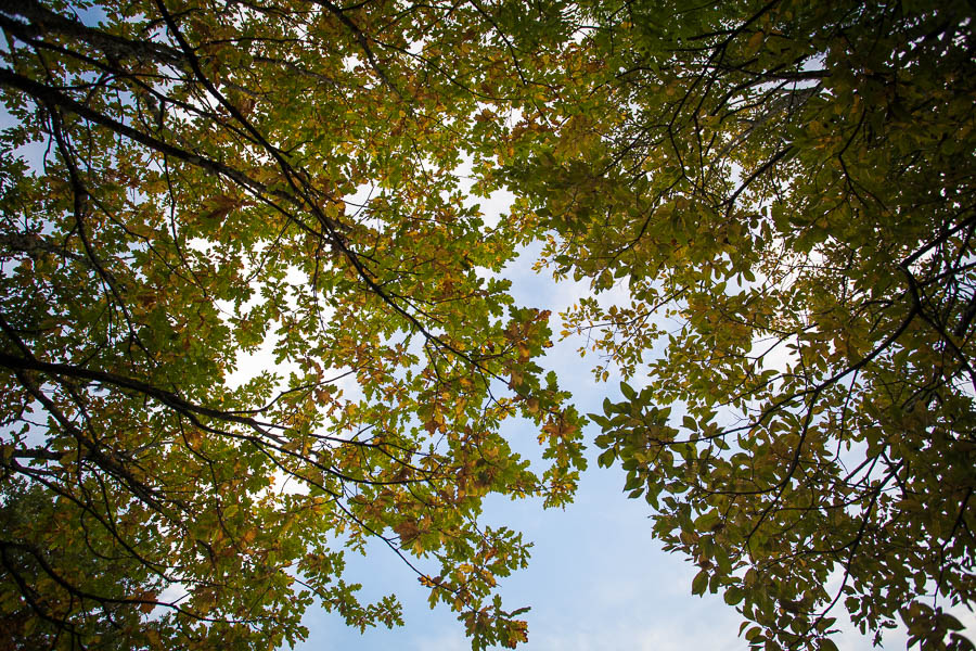 Looking up to a leafy tree.