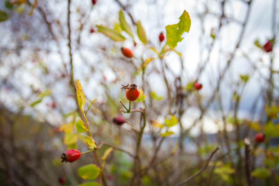 Rose hips on a bush.