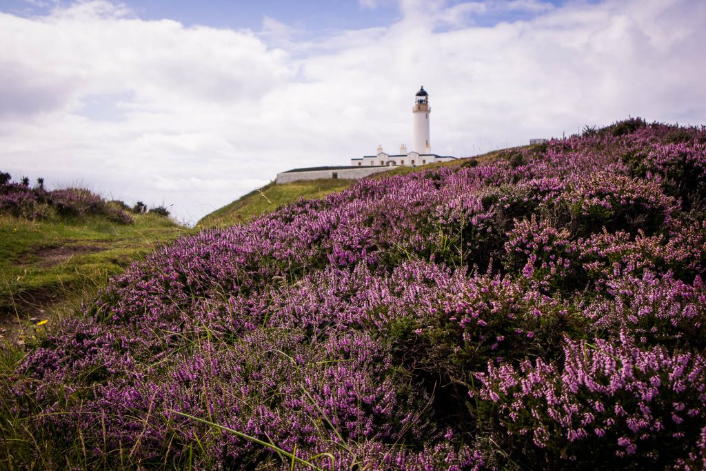 Mull of Galloway Lighthouse at the southernmost point of Scotland behind blooming heather.