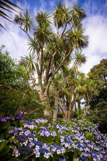 Palm trees and purple flowers at Logan Botanic Garden in South Scotland