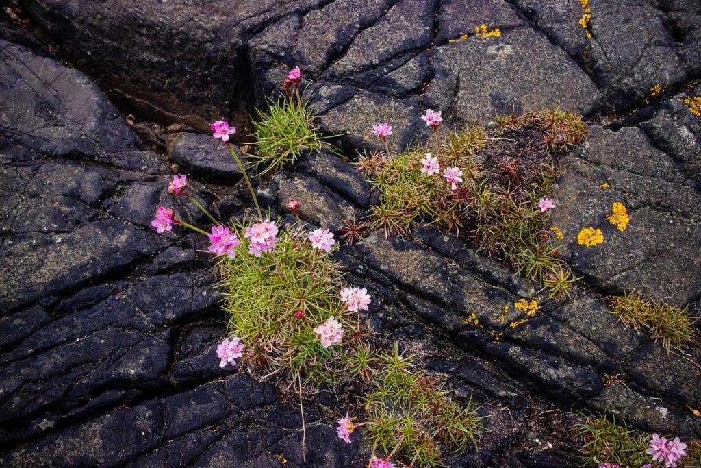 Purple flowers growing on a rock