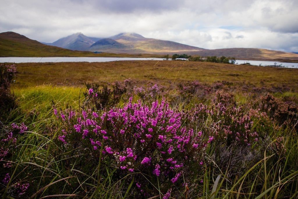 Purple flowers blooming in front of mountain view at Rannoch Moor in Scotland.