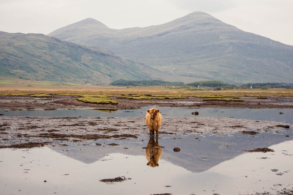 Highland Cow on Mull