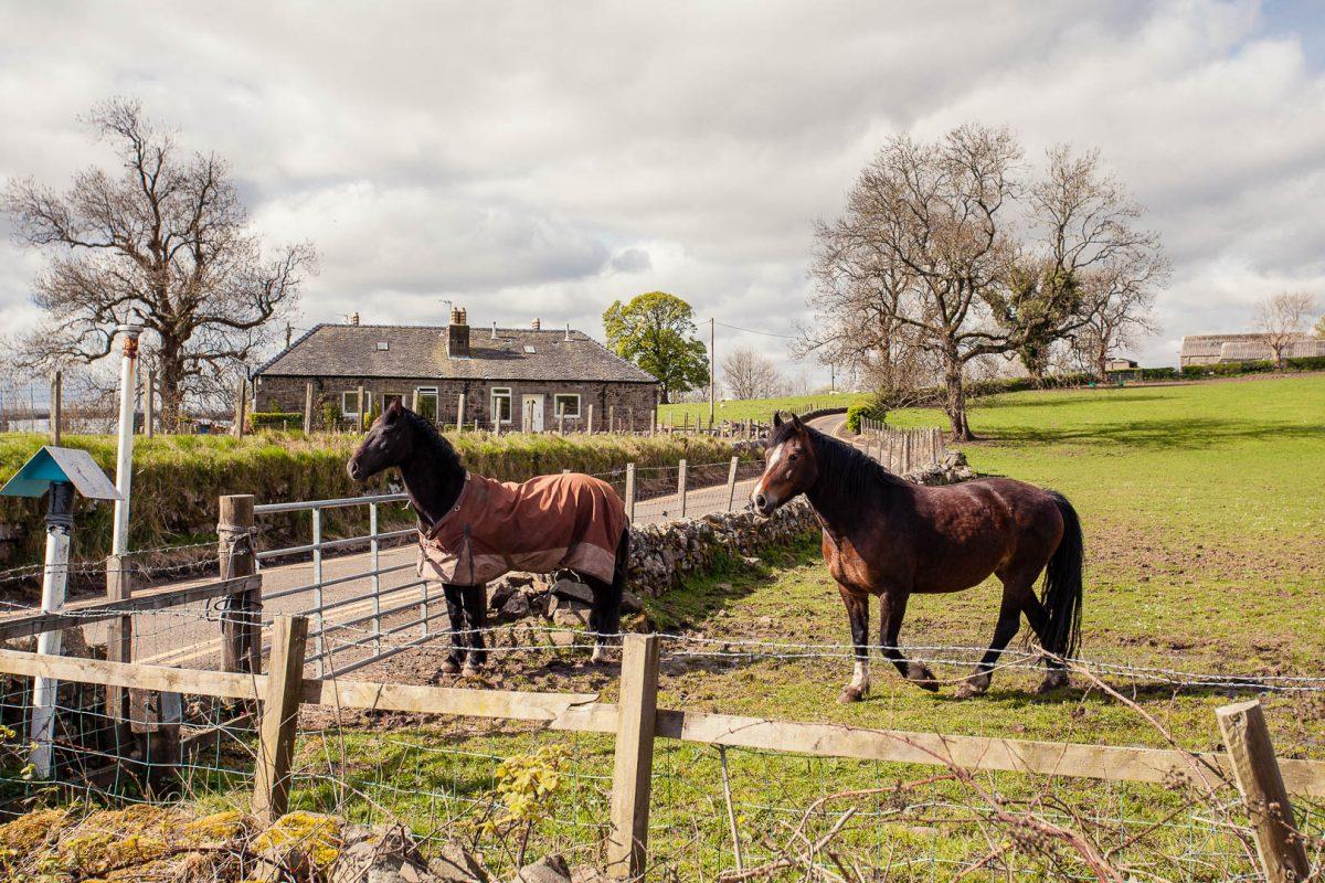 Horses in the Kilpatrick Hills near Glasgow, Scotland
