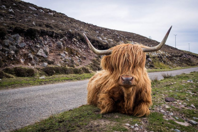 Highland cow on a Scottish road