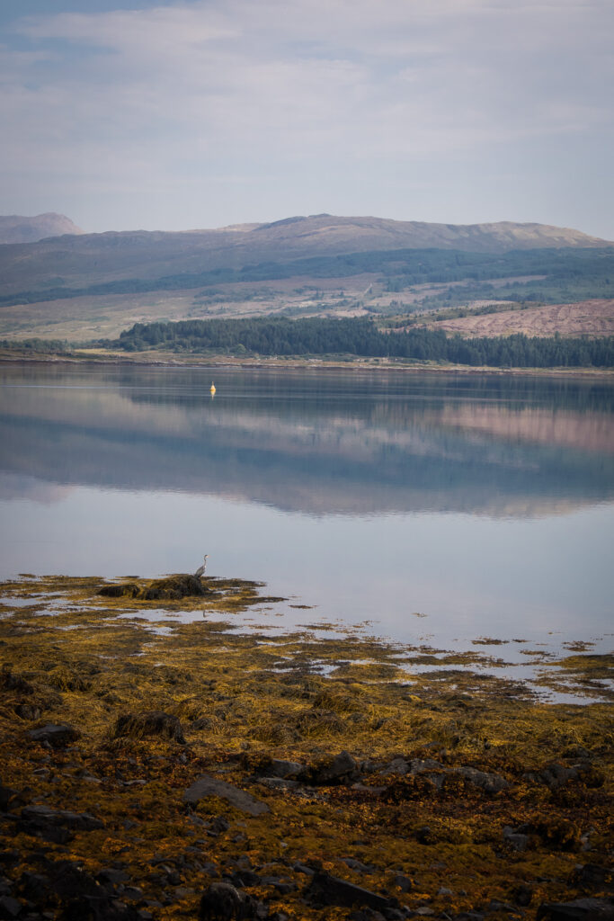 a heron by the sea shore of Mull