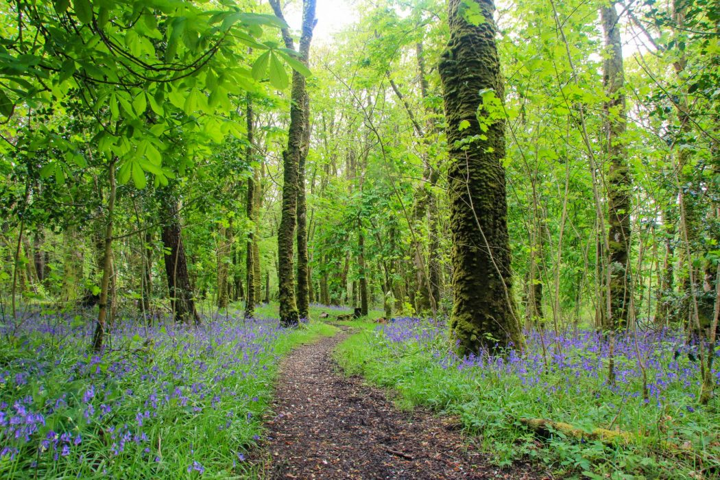 Lush green forest and bluebells on the Isle of Rum.