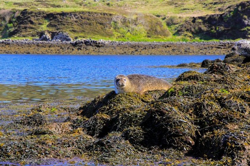 A seal sunbathing on a rock in Scotland.