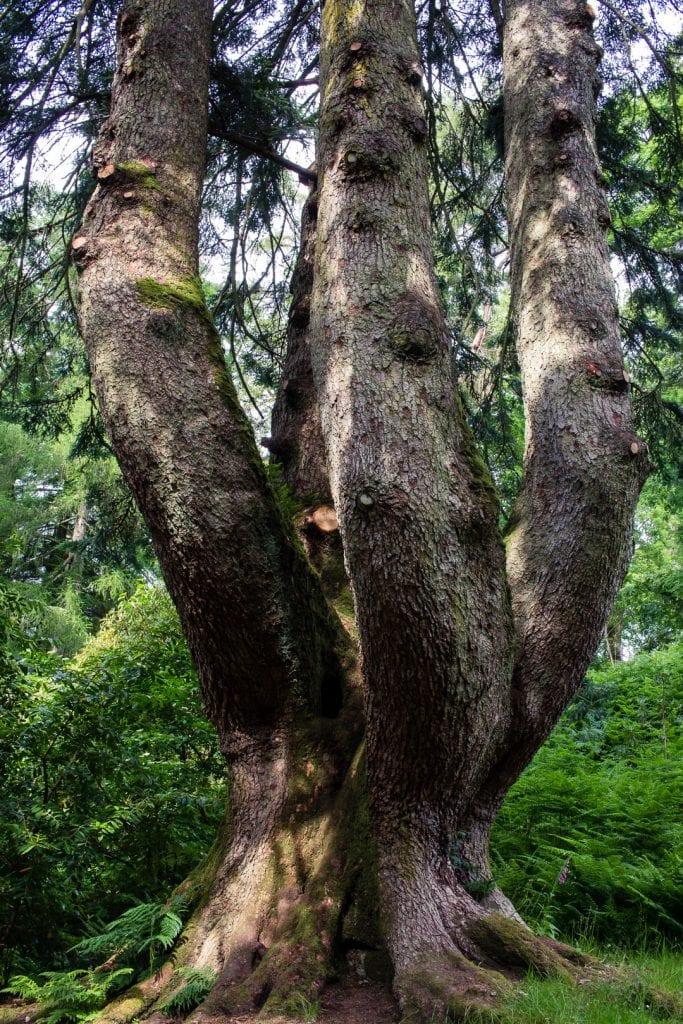 A giant tree at Ardkinglas Woodland Garden.