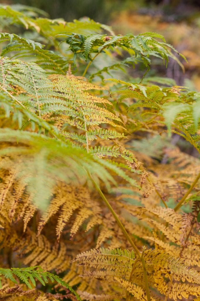 Autumnal ferns at the Burn o' Vat trail in The Royal Deeside.