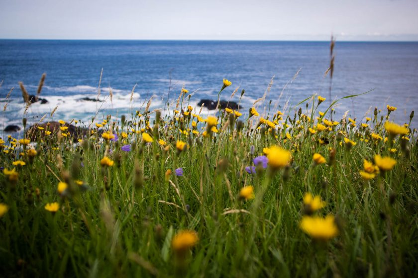 Flowers blooming on the Scottish coast by the sea