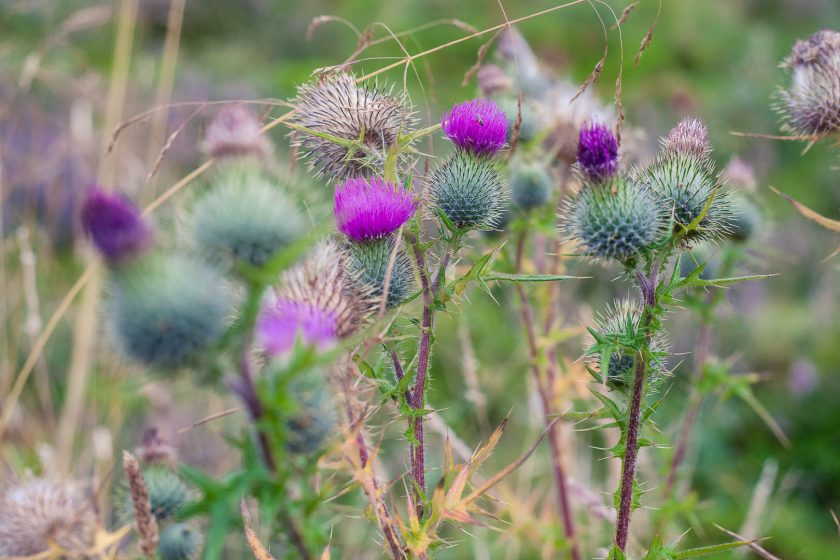 Thistles at Seven Lochs Wetland Park, Glasgow, Scotland