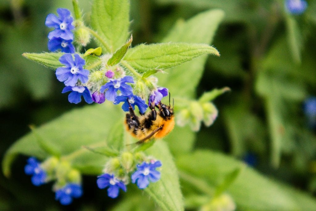 A huge bumble bee on a blue flower in Scotland.