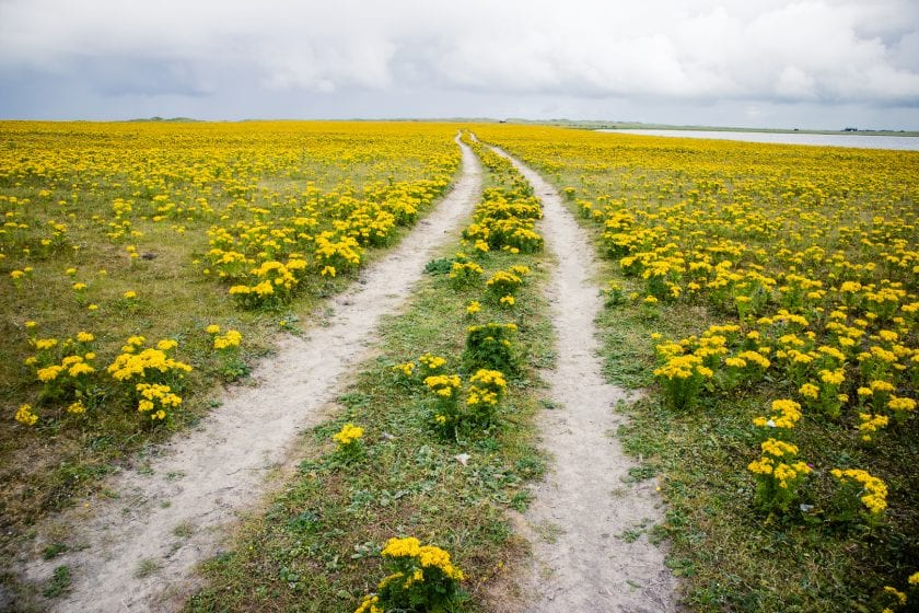 The Hebridean Way leading through a yellow flower field.