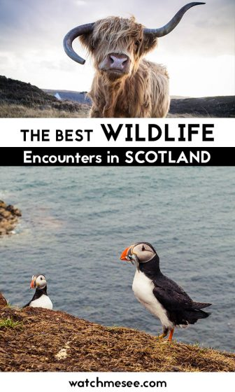From puffins to ponies and basking sharks - this post includes some of the best places to see and learn about wild animals in Scotland!