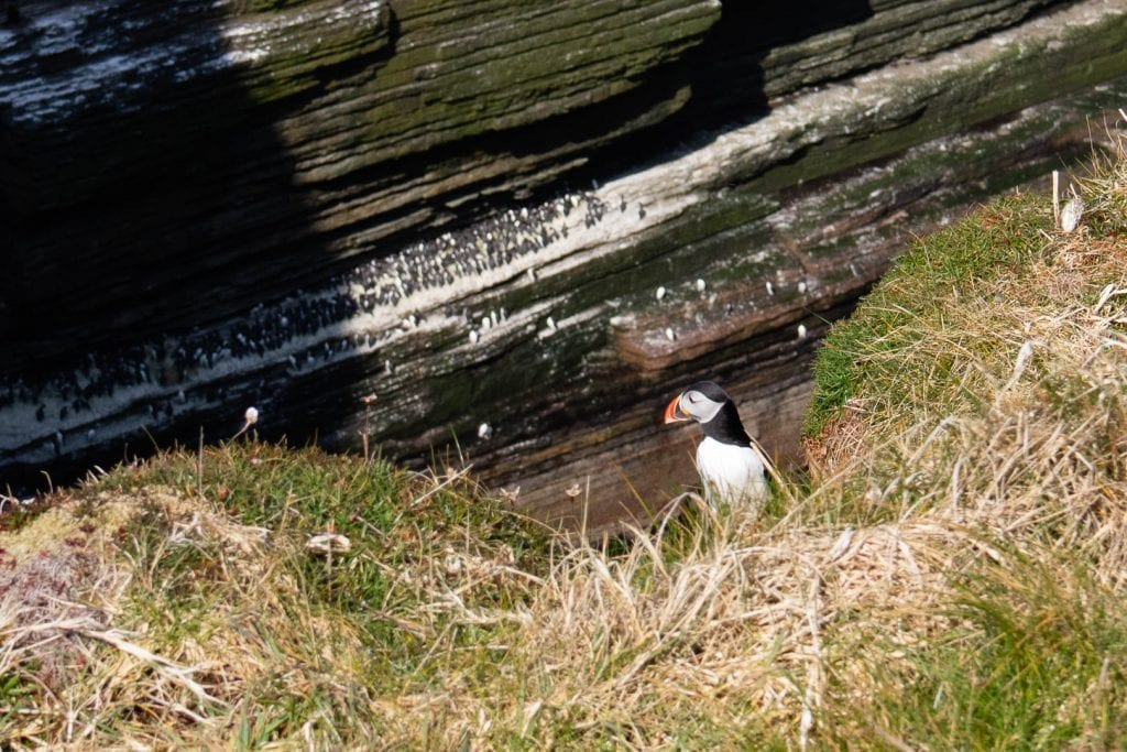 North Coast 500: Puffin at Duncansby Head