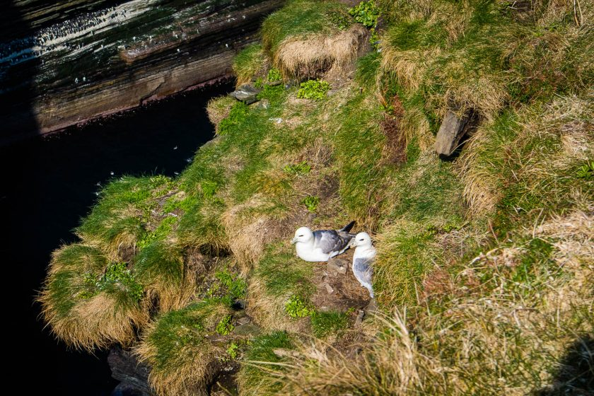 Birds nesting on a cliff in Scotland