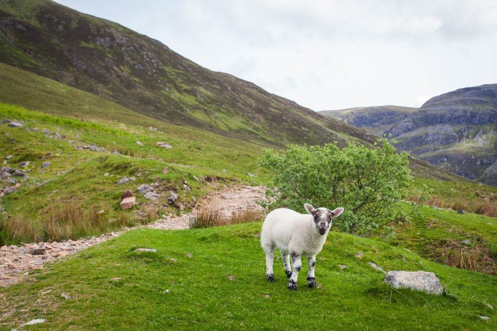 A lamb in the Scottish countryside.